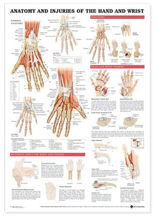 Anatomy chart of wrist and hand